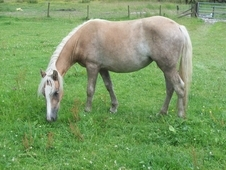 2 Haflinger Fillies