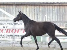 All Rounder horse - 3 yrs 0.0 hh Black - Bedfordshire