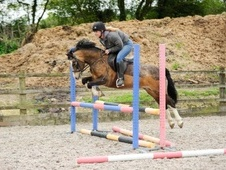 Pony Club Ponies horse - 10 yrs 13.1 hh Dun - East Sussex
