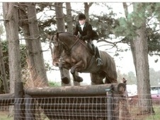 All Rounder horse - 21 yrs 17.3 hh Bay - Nottinghamshire