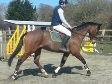 All Rounder horse - 10 yrs 16.1 hh Bay - East Sussex