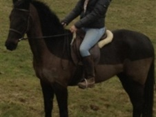 Sports Horses horse - 5 yrs 15.3 hh Black - Berkshire
