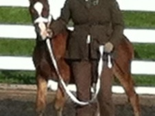 Showing horse - 1 yr 13.2 hh Bay - Kent