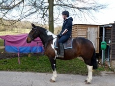Cobs horse - 5 yrs 2 mths 15.2 hh Coloured - Kent