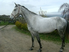 All Rounder horse - 6 yrs 17.1 hh Dapple Grey - West Yorkshire