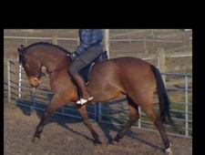 Showing horse - 4 yrs 14.2 hh Bay - Lancashire