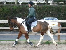 All Rounder Horse - 6 Yrs 15. 2 Hh Skewbald - West Yorkshire