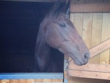 Beautiful 15. 3 Filly, Flashy Paces, Brilliant All Rounder