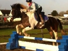 Riding Club Horses/Ponies horse - 4 yrs 3 mths 14.2 hh Tri-Colour...