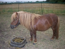 Miniatures horse - 7 yrs 1 mth 7.2 hh Chestnut - Essex