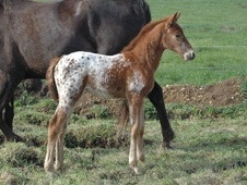 Young Stock  horse - 2 mths 0.0 hh Appaloosa - Wiltshire