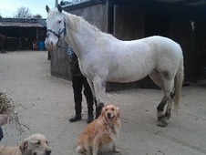 All Rounder horse - 14 yrs 11 mths 16.2 hh Appaloosa - Cambridges...