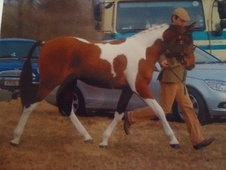 Dressage horse - 2 yrs 14.3 hh Skewbald - North Yorkshire
