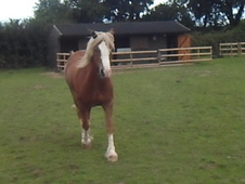 Home Needed for Companion Horse - Freddie 14. 2/15hh Welsh Cob Ge...