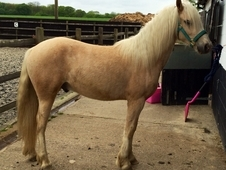 2 year old palomino gelding