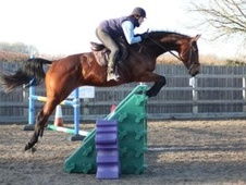 All Rounder horse - 6 yrs 1 mth 17.0 hh Bay - Oxfordshire