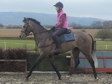 All Rounder horse - 4 yrs 4 mths 15.1 hh Grey - North Yorkshire