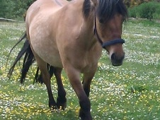 Mountain & Moorland horse - 12 yrs 13.2 hh Golden Dun - Inverness...