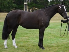 allrounder ID gelding ideal quality riding club horse