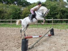 15.1hh Anglo Arab Mare All Rounder