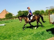 16'1hh 8yo Project Mare For Sale