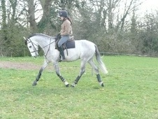 All Rounder horse - 5 yrs 15.0 hh Dapple Grey - Cheshire