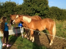 Two year old New Forest gelding