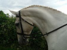 Irish Draught 17h Gelding 9 Years £3000