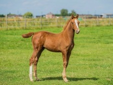 Anglo Arab Gelding By Picasso Kossacl