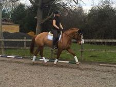 Dressage horse - 5 yrs 16. 2 hh Chestnut