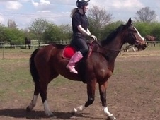 All Rounder horse - 9 yrs 16.1 hh Bay - South Yorkshire