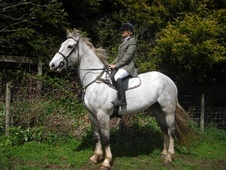 All Rounder horse - 5 yrs 6 mths 16.2 hh Grey - Cumbria