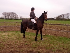 Show Jumpers horse - 11 yrs 15.0 hh Bay - Bedfordshire