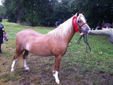 Mountain & Moorland horse - 12 yrs 12.0 hh Chestnut - Gloucesters...