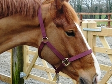 ISH all rounder 6 yr old gelding