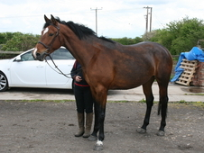 Well bred 4 year old mare