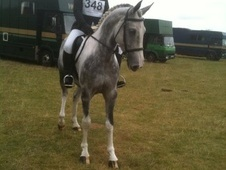 All Rounder horse - 6 yrs 15.3 hh Coloured - Cambridgeshire