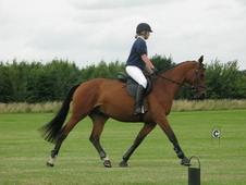 All Rounder Gelding- 14 Years 16. 2hh Bay Warmblood- South Yorkshire