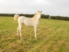 Stunning Cremello Filly