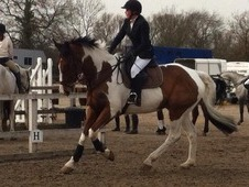 Coloured 17. 2hh gelding, show jumper, all rounder