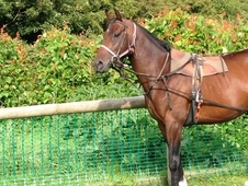 Joey- 16hh 4 Year Old Potential Dressage Star
