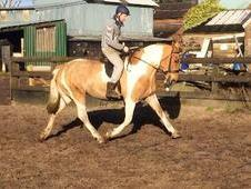 16hh Coloured Maxi Cob For Sale