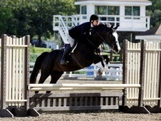 6yrs Oldenburg Sport Horse Gelding 16. 3HH