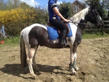All Rounder horse - 9 yrs 15.2 hh Skewbald - Essex