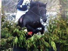 Stunning14. 2h black jumping / competition pony by Cusop Jackdaw ...