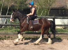 Irish cob - Cobs - Gelding - 16 hh - Norfolk