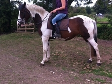 Stunning Allrounder/ Potential Eventer