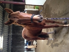 Danny- 2 year old chestnut gelding