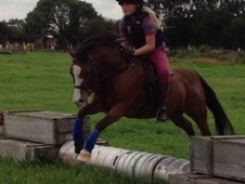 All Rounder horse - 7 yrs 9 mths 11.3 hh Bay - South Yorkshire