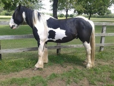 Coloured horse - 2 yrs 1 mth 14.2 hh Piebald - Wiltshire